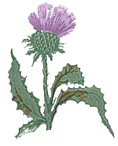 Scottish_thistle